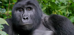 An incredible chance encounter with a troop of wild Mountain Gorillas in Uganda. Check blog.commonflat.com for more photos and background on this once in a